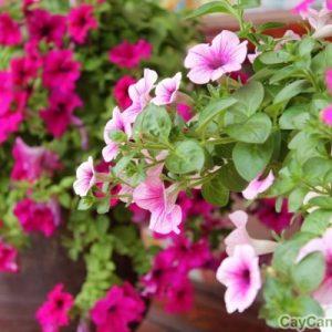 cay hoa da yen thao