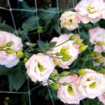 hoa cat tuong
