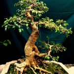 duoi bonsai