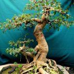 duoi bonsai