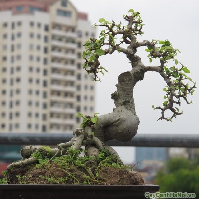 duoi bonsai tai ha noi