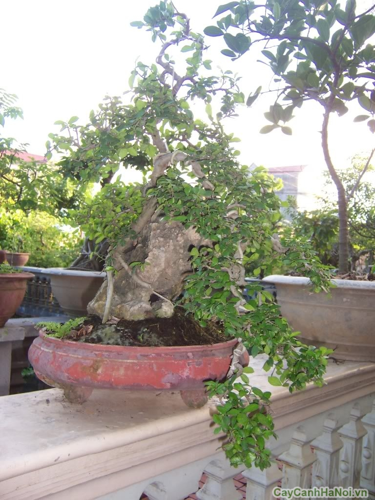 duoi bonsai tai ha noi