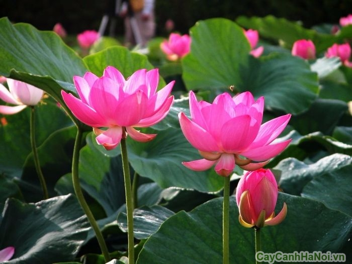 cay hoa sen