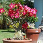cay hoa su bonsai