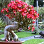 hoa su bonsai