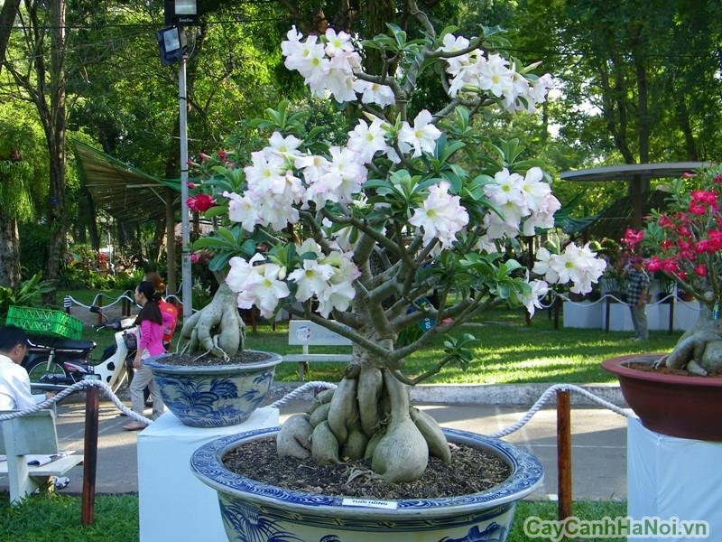 cay hoa su hoa trang