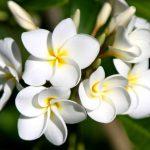 hoa su