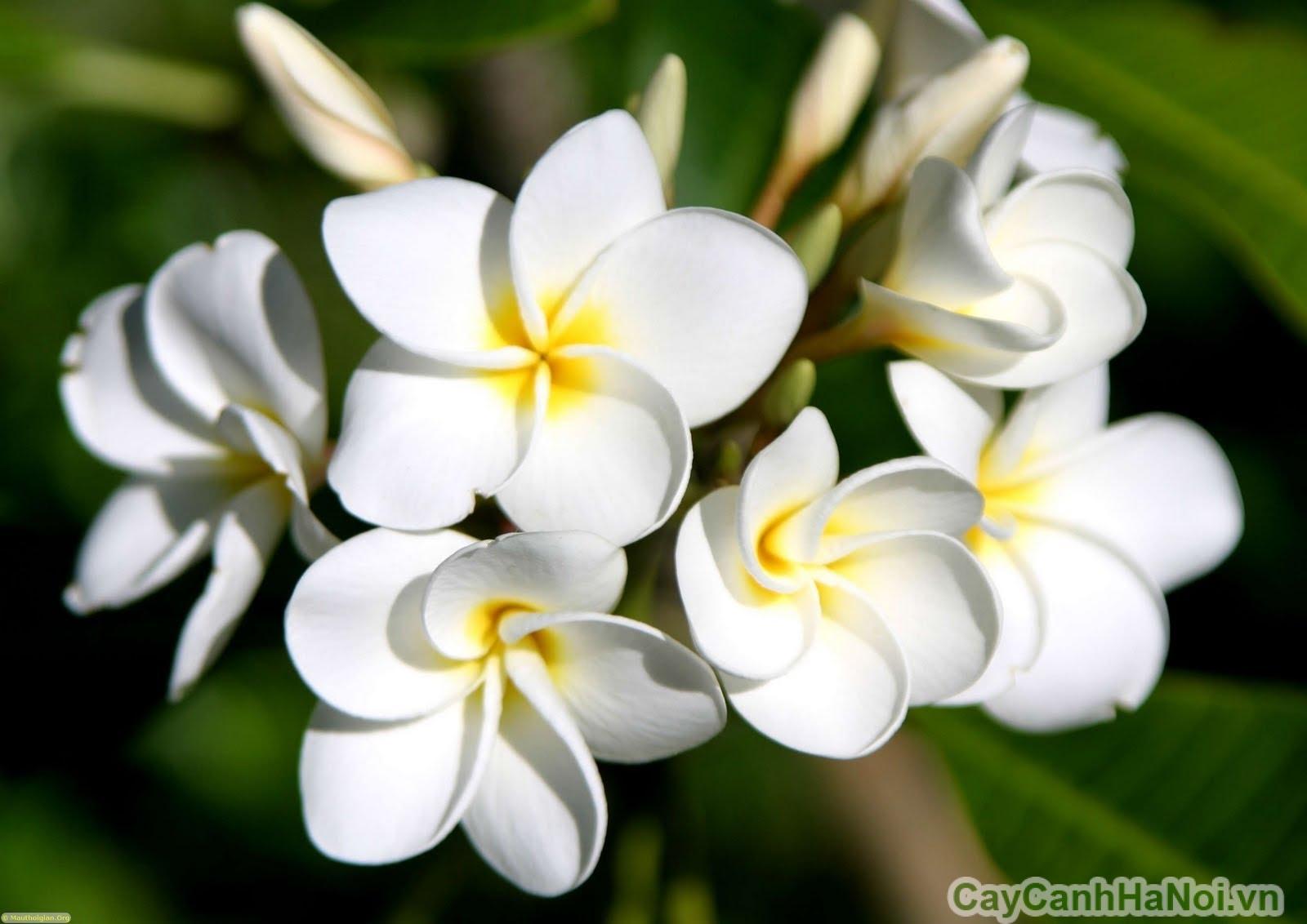 cay hoa su