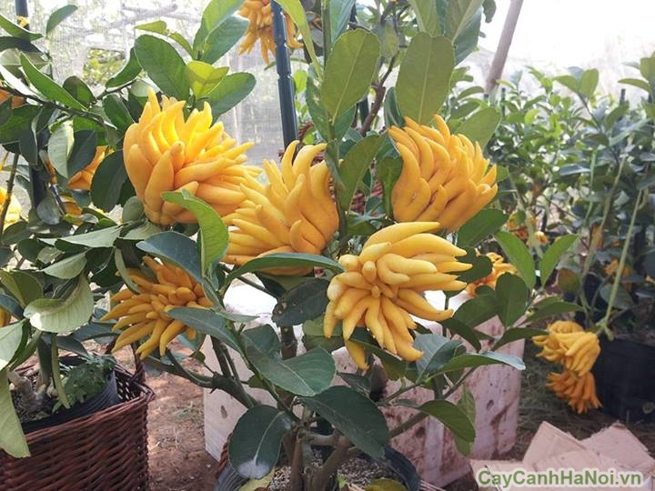 cay phat thu bonsai