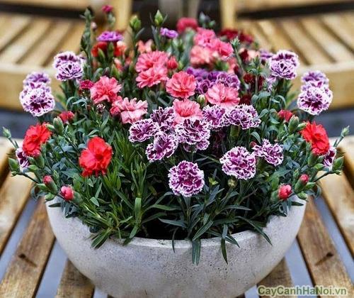 hoa cam chuong mang nhieu y nghia