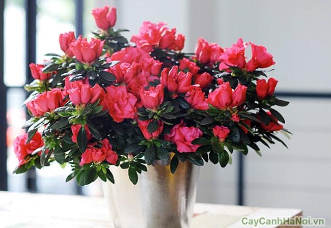hoa do quyen de ban ngay tet