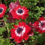 hoa phong lu mau do dam