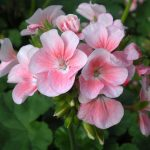 hoa phong lu mau hong nhat