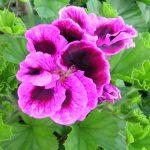 hoa phong lu mau tim