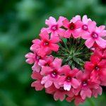 cay hoa phong lu tranng tri ban cong tuyet dep