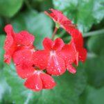 hoa phong lu mau do
