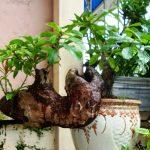 loc vung bonsai