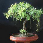 loc vung bonsai gia tri cao