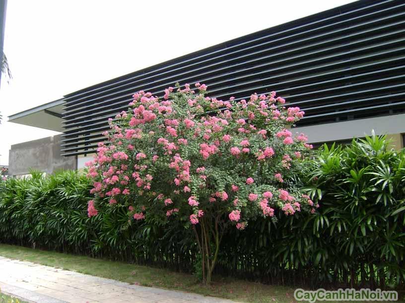 hoa tuong vi