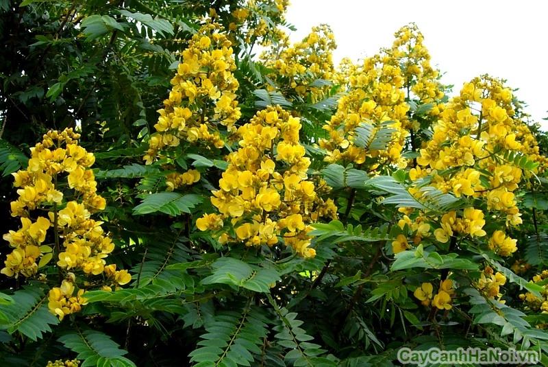 hoa muong