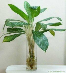 cây bạch mã hoàng tử trồng nước 4