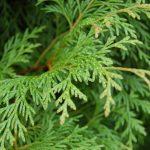 cây bách xanh 2