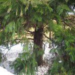 cây bách xanh 3