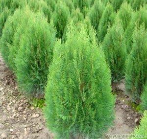 cây bách xanh 4
