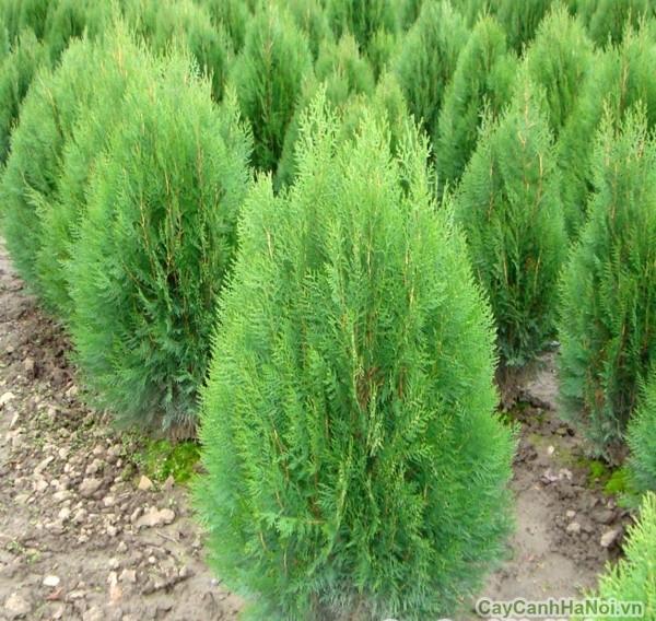 cây bách xanh 5