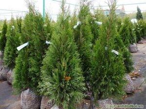 cây bách xanh 1