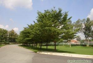 cây bàng đài loan 2