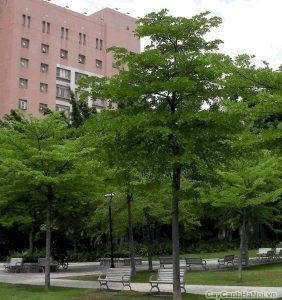 cây bàng đài loan 3