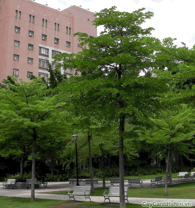 cây bàng đài loan 5