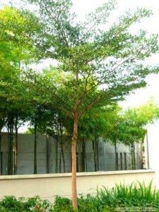 cây bàng đài loan 4