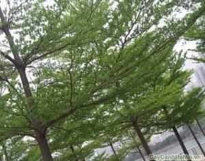 cây bàng đài loan 1
