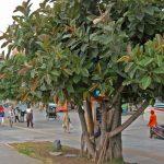 cây đa búp đỏ 1