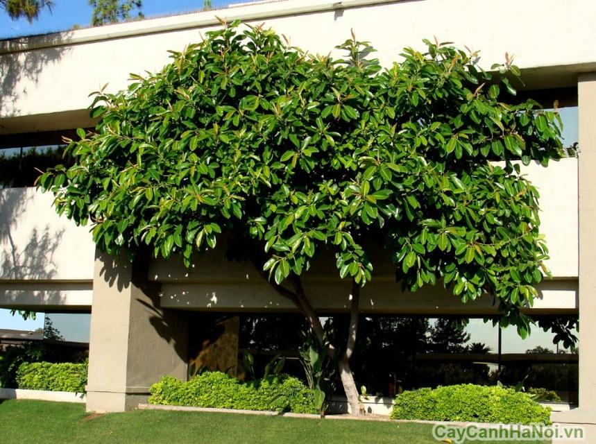 cây đa búp đỏ 3