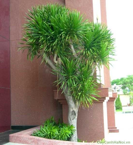 cây đại lộc 5
