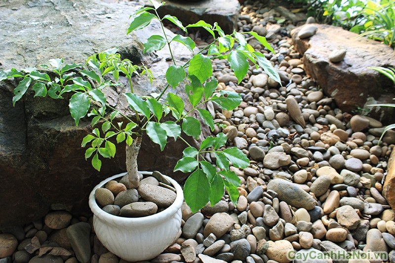 cây hạnh phúc để bàn 3