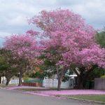 cây kèn hồng 3