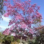cây kèn hồng 1