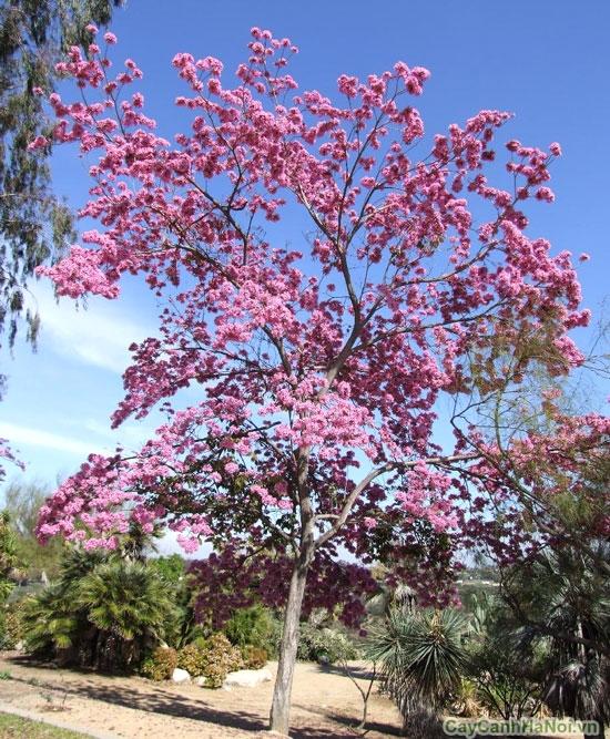 cây kèn hồng 5