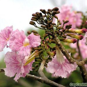 cây kèn hồng 4
