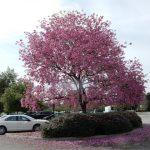 cây kèn hồng 2