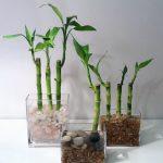 cây kim phát tài trồng nước 4