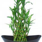 cây kim phát tài trồng nước 2