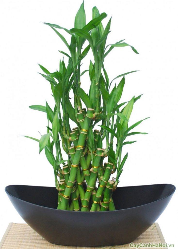 cây phát tài trồng nước 2
