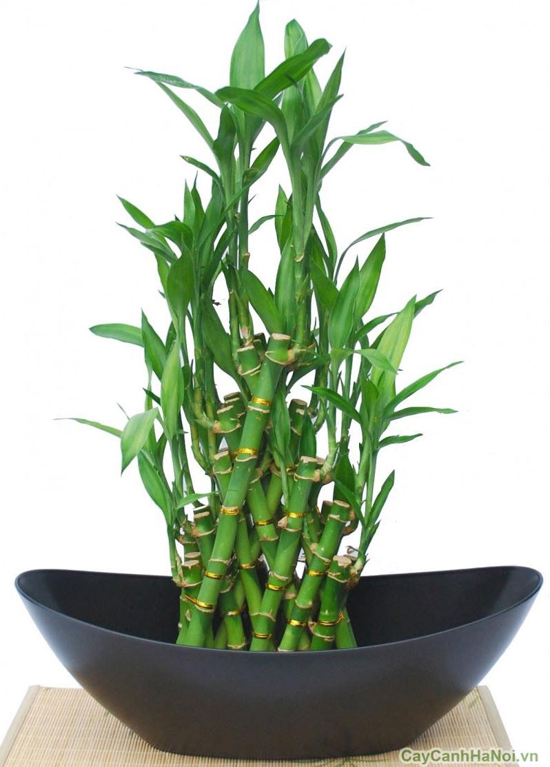 cây kim phát tài trồng nước 5