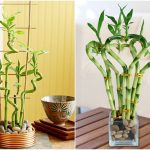 cây kim phát tài trồng nước 1