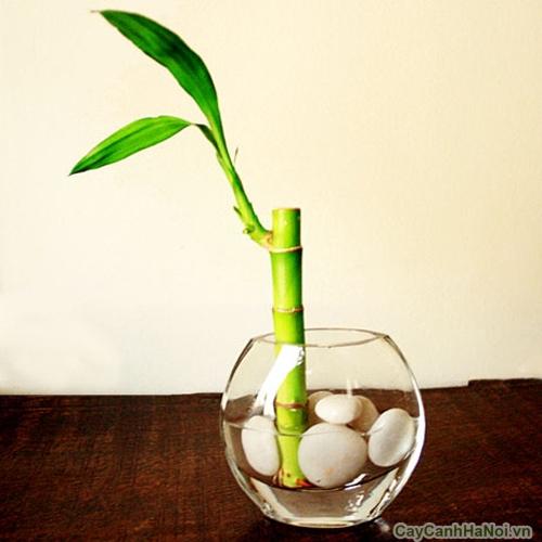 cây phát tài trồng nước 3